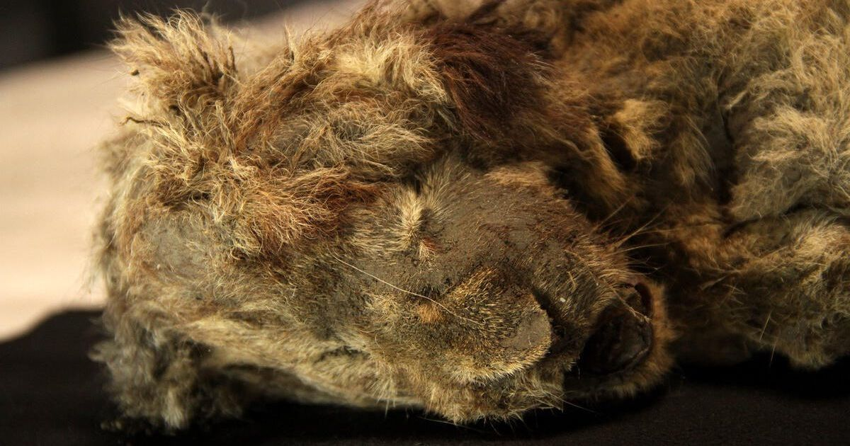 Frozen cave lion still has whiskers and fur despite being 28,000 years old